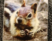 "Magnet Golden Mantled Ground Squirrel - 1.75"" x 1.75"""
