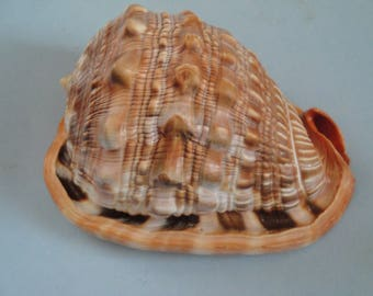 Seashells Cassis Rufa 134mm Large Cassis Rufa Shell