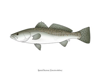 Spotted Seatrout - 8x10 Print