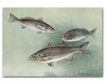 "Fishing Art, Striped Bass Print, Antique Fishing Home Decor --- ""Striped Bass & Common Squeteague"" No. 83"
