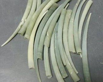 Green Tusk (Dentallium Aprium) Seashells  (5 Shells)