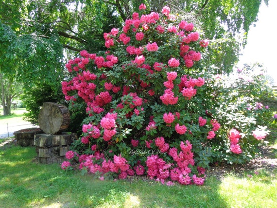 Items similar to nature rhododendron woodland tree bush red pink items similar to nature rhododendron woodland tree bush red pink flowers blooms picture photo spring floral print no 9 koe on etsy mightylinksfo
