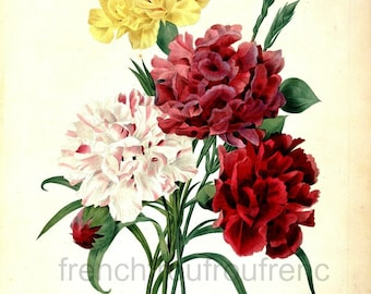 antique french botanical illustration white yellow red carnation flowers DIGITAL DOWNLOAD