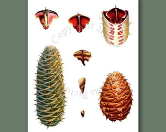 "Pine Cone Decor Forest Wall Hanging Conifers print #9 Fall Winter Decor Woodland Wall Decor Christmas Wall Art 8x10"" Gnosis Picture Archive"
