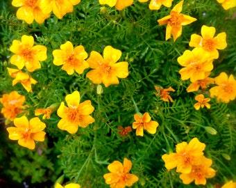 Edible Marigold Heirloom Tangerine Gem Flower Seeds