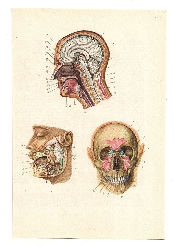 Fein Schädel Diagramm Fotos - Menschliche Anatomie Bilder ...