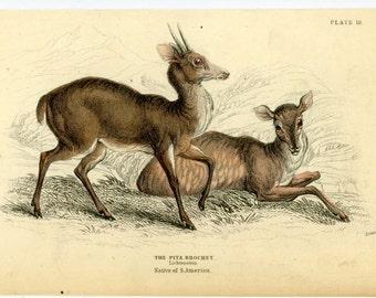 1838 pita brochet deer original antique doe & buck engraving print - native of south america