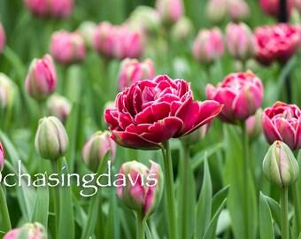 Spring Bloom at Keukenhof Gardens, Netherlands - 2018