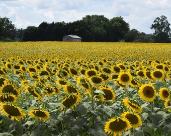 8 x 10  Field of Sunflowers  - Original Photography Print, Wall Decor