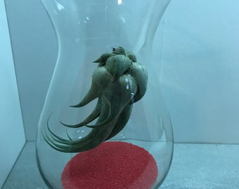 Air Plant in Glass vase