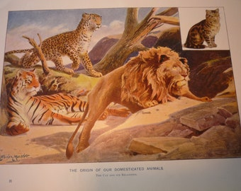 Cats Domesticated Animals 1904 - vibrant color print Lions Tigers  - Science Illustration - Print only or with Mat Ships fast