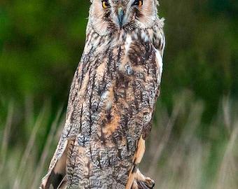 Long Eared Owl | Bird of Prey Photograph | Owl Picture | Long Eared Owl Image | Wildlife Photography