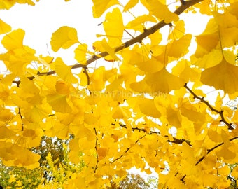 Staring at Ginkgo Leaves Fine Art Print