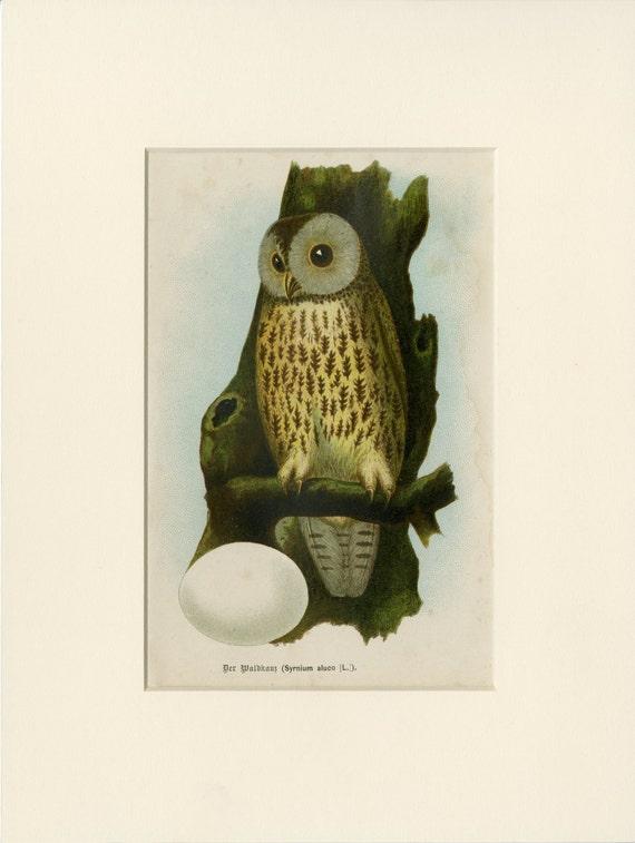 Mate antiguo buho grabado Buho marrón C.1893