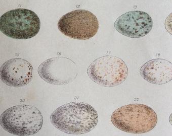 Original Victorian Antique Egg Print Ornithology 1893 Chromolithograph Eggshell Bookplate