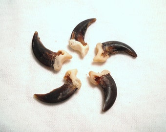 5 Coyote Claws Real Bone Taxidermy Genuine Bones