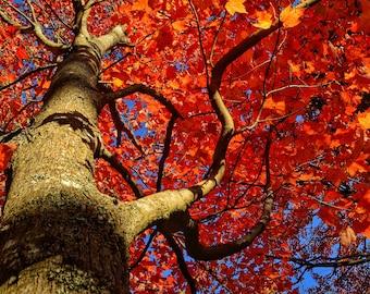 Orange Canopy of Leaves Print