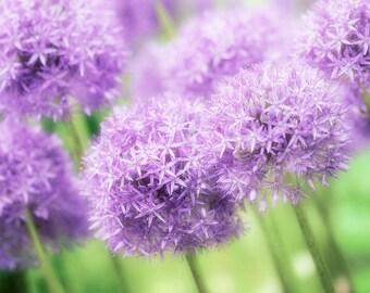 Nature Photography, Purple Allium, Flowers, Fine Art print, Home Decor.
