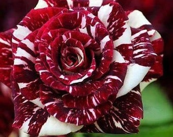 Dark red white rose seeds,359, flower roses seeds,roses from seeds,planting roses,growing roses from seeds,seeds for roses,gardening