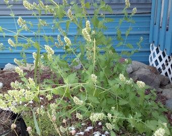 Wild Nettle-Leaf Horsemint Seeds - NON GMO
