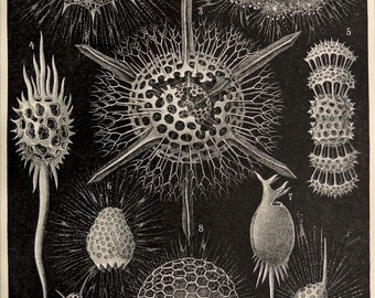 "Antique print.1893.Radiolaria.Natural History print.124 year old print.9.4,x6.2"",24x16 cm .Vintage sea fauna.Marine biology."