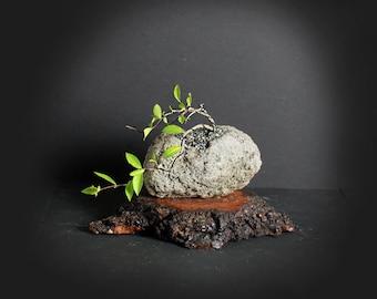 Dwarf Barbados Cherry pre bonsai tree, Fruiting bonsai collection from LiveBonsaiTree