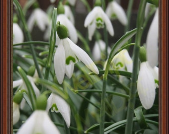 Beautiful Snowdrop photograph