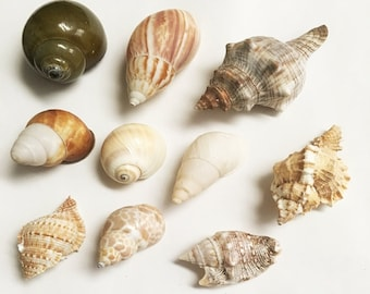 Land snails/shells for hermit crabs 10 assorted small - large seashells
