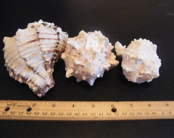 Set of Three Conch Shells