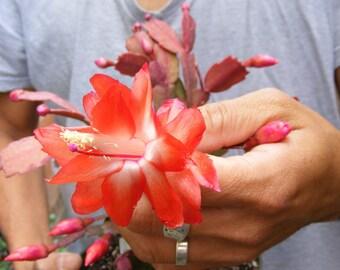 Christmas Cactus Succulent Orange Color A