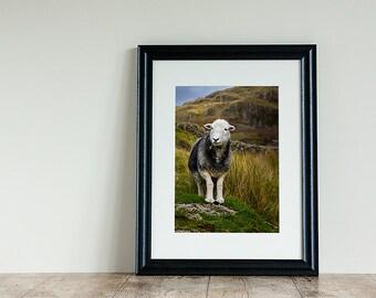 Herdwick Sheep photo, Animal Photography, Mounted Photograph, Mounted photo, Farm Animals, Sheep photography