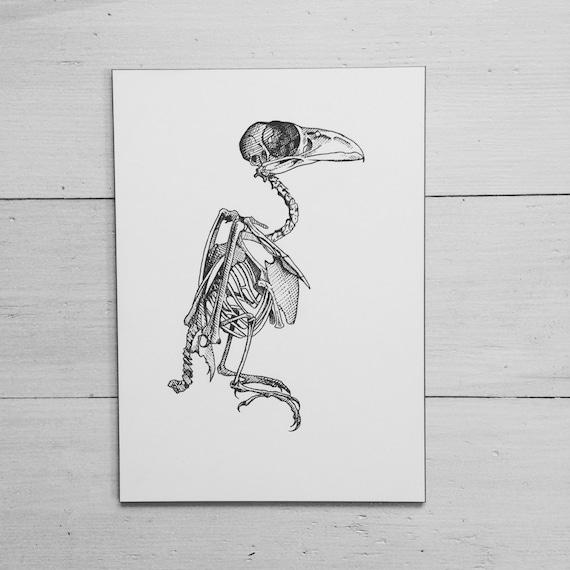 Original-Radierung von Rabe Vogel Anatomie. Skelett Anatomie