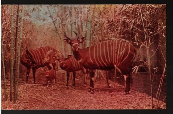 Bongo Display + Chicago Natural History Museum + Vintage Photo Souvenir Postcard