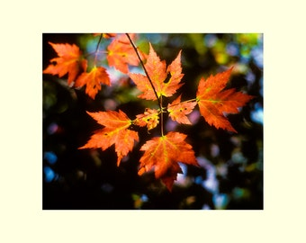 Tree autumn leaves picture matted photograph nature home interior wall decor fine art photography Jimmy Rea Photography