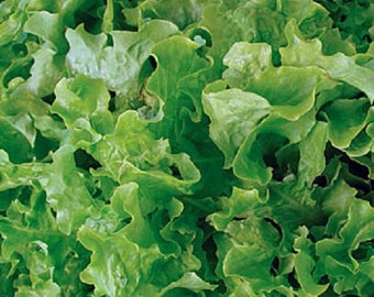 Organic Heirloom Green Salad Bowl Lettuce 100+ Seeds oakleaf shape! loose leaf  Crisp and tender with a sweet flavor.non-gmo