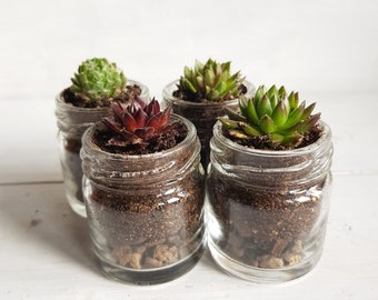 Sempervivum / Succulent Glass Jar Favours (Set of 4 Small with Stone Layer) - Gifts, Wedding Favours, Baby Shower Favours