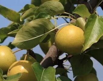 Mini Asian Pear- Shinseiki
