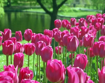 Flower Photography, Pink Tulips, Spring Flowers, Boston Public Gardens, Office Home Decor, Flower Pictures, Pink Green, Vertical Wall Art