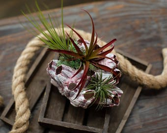 Barnacle Air Plant Arrangement