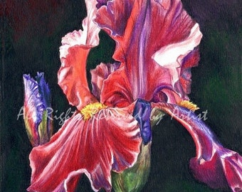 Pink Red Iris Painting in Moonlight Art Framed Print
