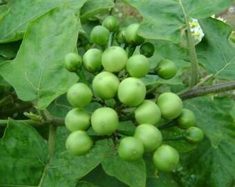 Pea Eggplant Seeds, Solanum torvum, Fresh Organic Heirloom Herb and Vegetable Seeds, Essential Ingredient in Thai Cuisine, Very Medicinal!