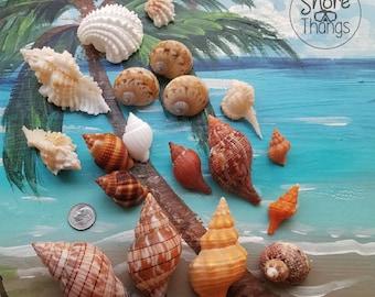 Marco Island Sea Shells -  Albino & Chocolate Nutmeg package