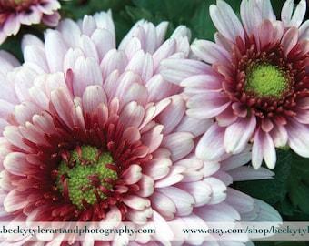 Chrysanthemum Photograph Fine Art Print