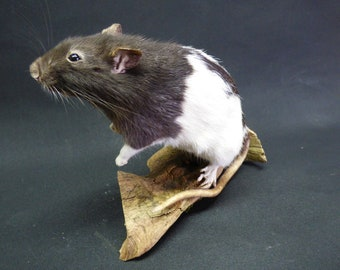 Taxidermy Black And White Rat (log no:52) On Driftwood.