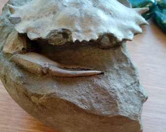 Crab fossil Whole, minus a claw, in matrix  Stunning rare specimen