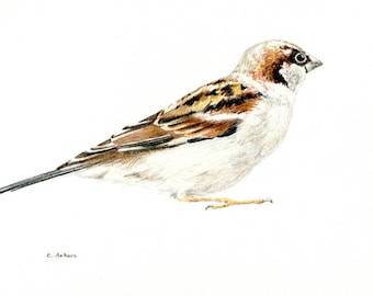 House Sparrow Original Colored Pencil Sketch