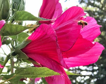 Flower with flying Bee Photograph, Fine Art Print