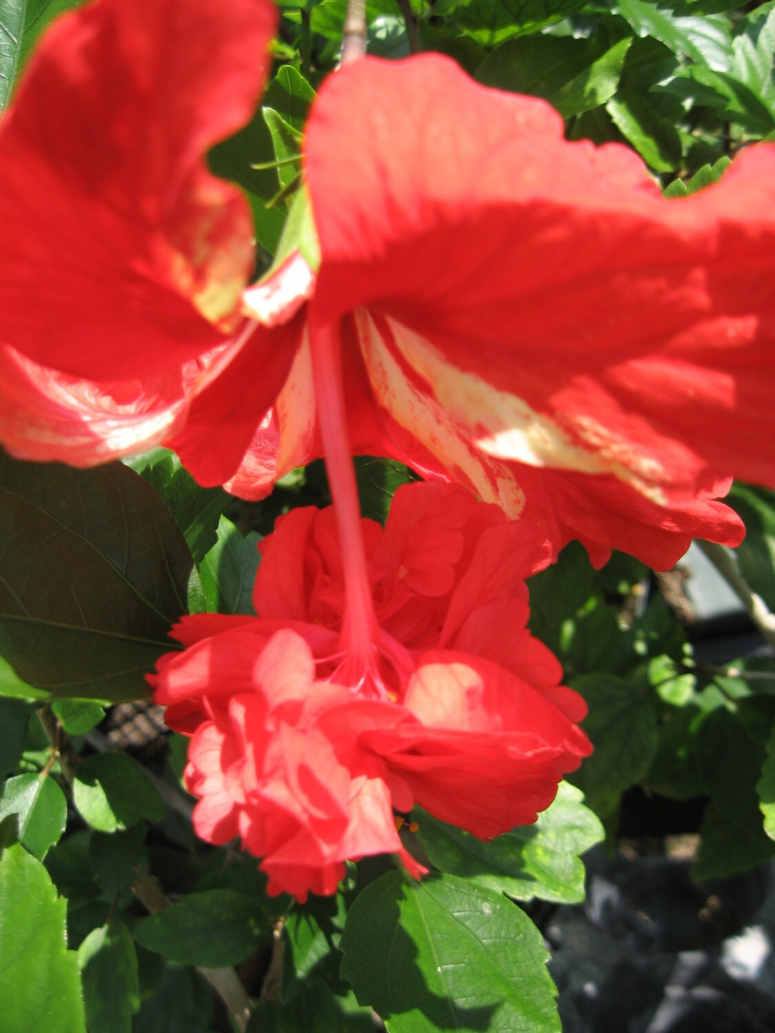 Hibiscus lions tail tropical plant unusual double pom pom poodle 1150 shipping izmirmasajfo Image collections