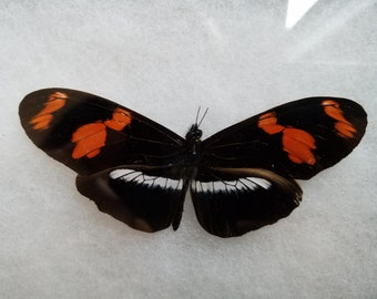 Framed Longwing Butterfly - Heliconius