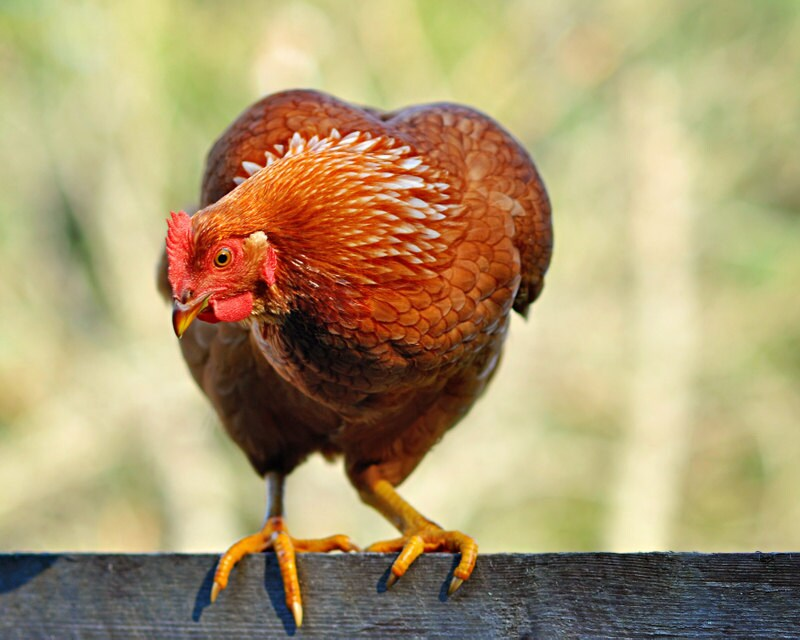 Rote Henne Huhn-Fotografie Bauernhausdekor